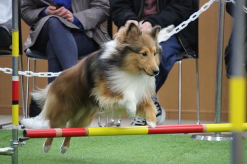 アジリティ犬.JPG
